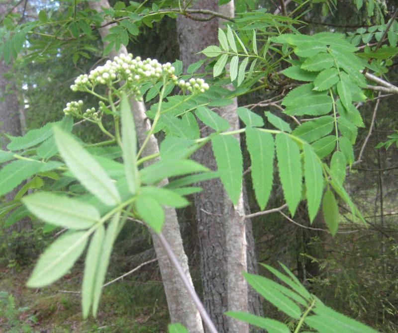 pihlajapuu