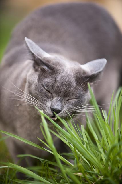 Merja Suomelan kissa Horta-Helge nauttii villivihanneksista. Kivimetsien hortakoira Onnin tavoin.