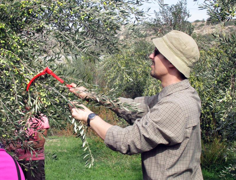 oliivinkeruu kypros